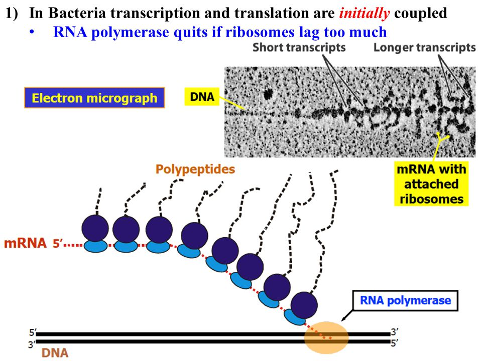 1)In Bacteria transcription and translation are initially coupled RNA polymerase quits if ribosomes lag too much Recent studies show that ribosomes continue translating once mRNA is complete; i.e after transcription is done