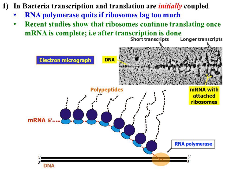 Initiating transcription in Prokaryotes 3) Once bound, RNA polymerase melts the DNA 4) rNTPs bind template 5) RNA polymerase catalyzes phosphodiester bonds, melts and unwinds template