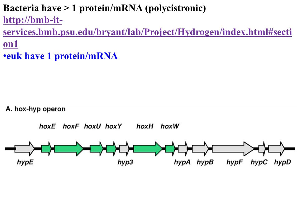 Initiating transcription in Prokaryotes 3) Once bound, RNA polymerase melts the DNA 4) rNTPs bind template 5) RNA polymerase catalyzes phosphodiester bonds, melts and unwinds template 6) sigma falls off after ~10 bases are added