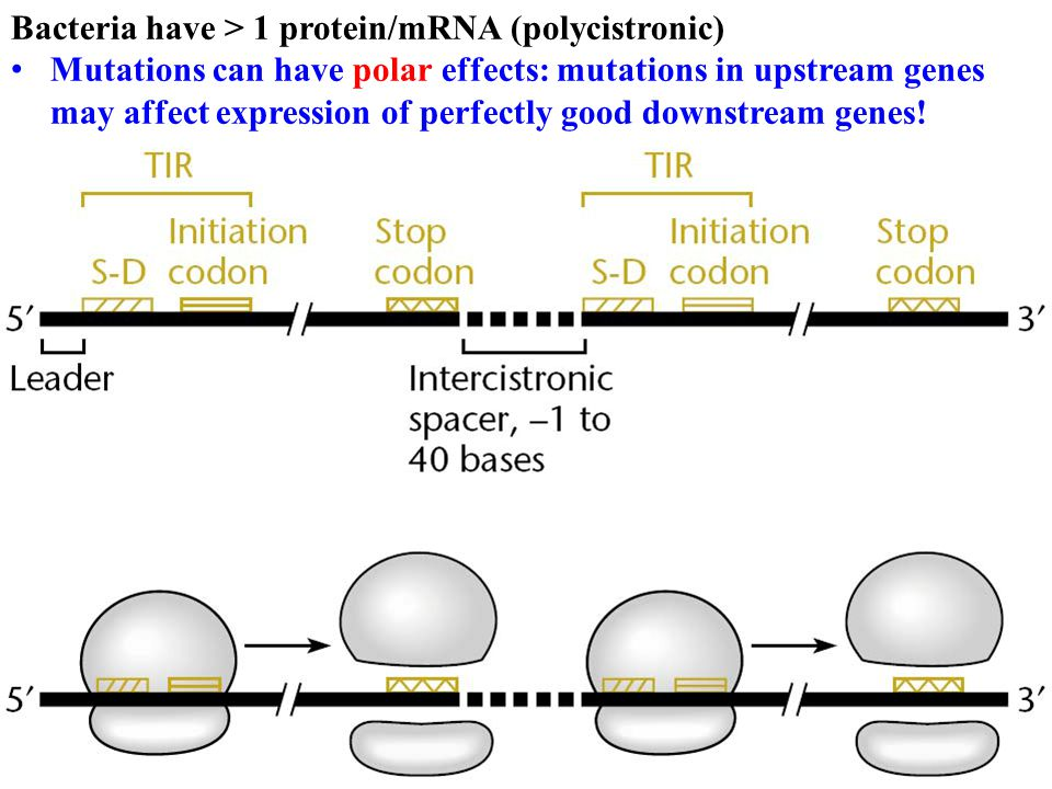 Bacteria have > 1 protein/mRNA (polycistronic) Mutations can have polar effects: mutations in upstream genes may affect expression of perfectly good d