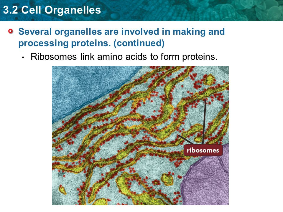 3.2 Cell Organelles Several organelles are involved in making and processing proteins. (continued) Ribosomes link amino acids to form proteins.