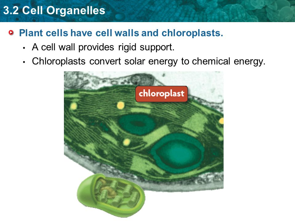 3.2 Cell Organelles Plant cells have cell walls and chloroplasts. A cell wall provides rigid support. Chloroplasts convert solar energy to chemical en