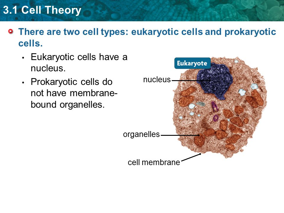 3.1 Cell Theory There are two cell types: eukaryotic cells and prokaryotic cells. Eukaryotic cells have a nucleus. Prokaryotic cells do not have membr