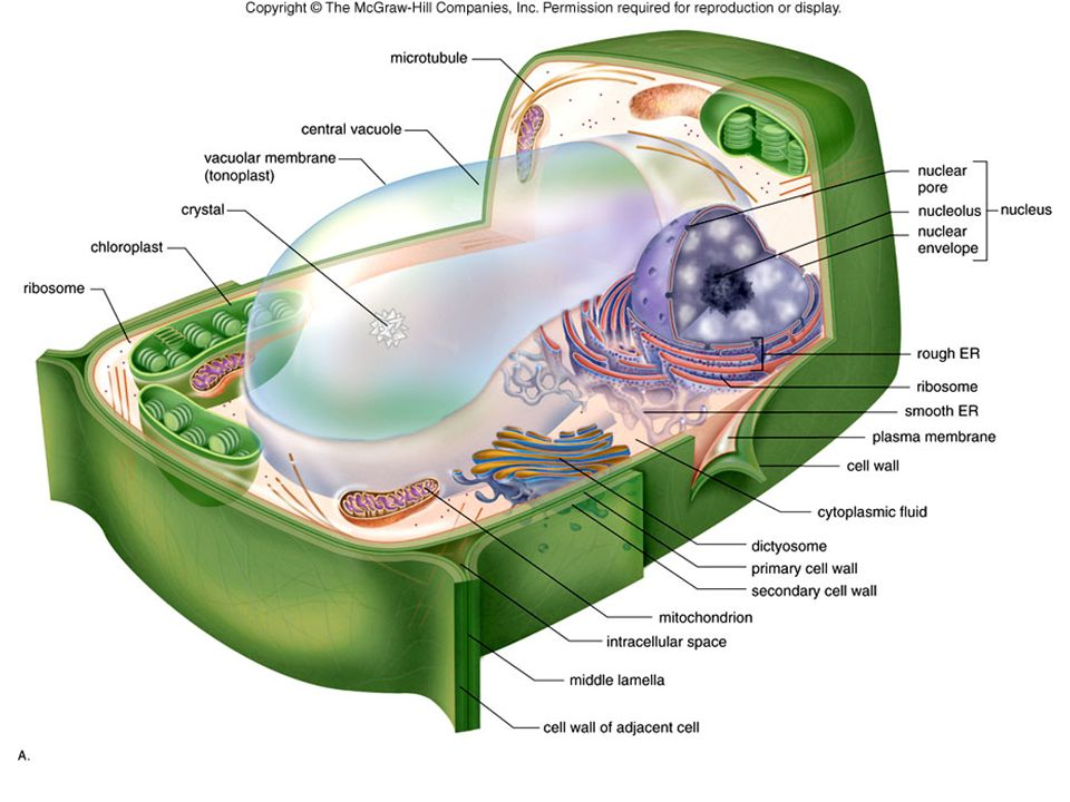 Cell Structure Protoplasm – all the material inside the cell wall Cytoplasm – all the material between the plasma membrane and nucleus Cytoplasm consists of the liquid cytosol and the organelles
