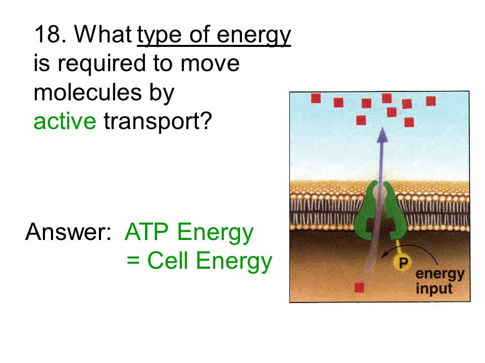 18. What type of energy is required to move molecules by active transport.