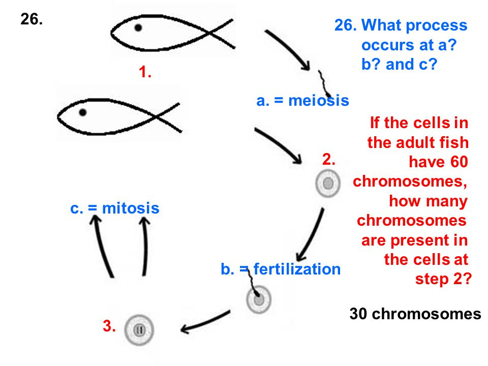 1. 2. 3. a. = meiosis b. = fertilization c. = mitosis 26.