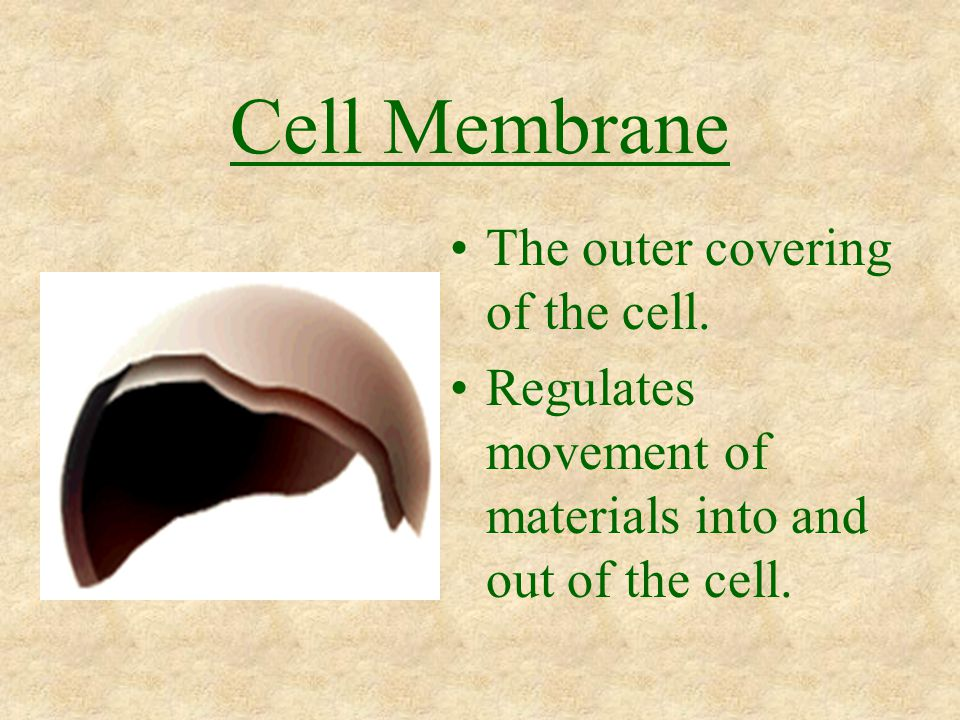 Cell Membrane The outer covering of the cell. Regulates movement of materials into and out of the cell.