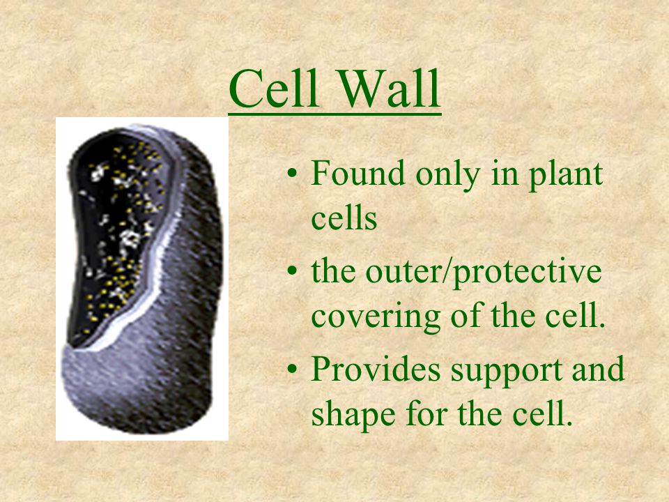 Cell Wall Found only in plant cells the outer/protective covering of the cell. Provides support and shape for the cell.
