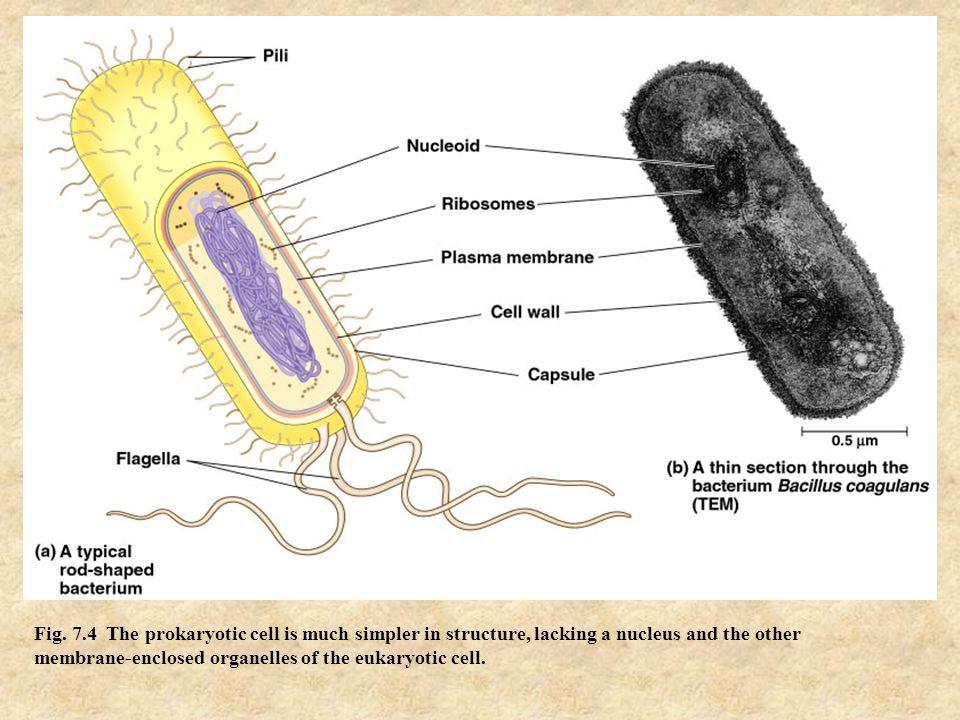 Cellular Structures (Organelles)