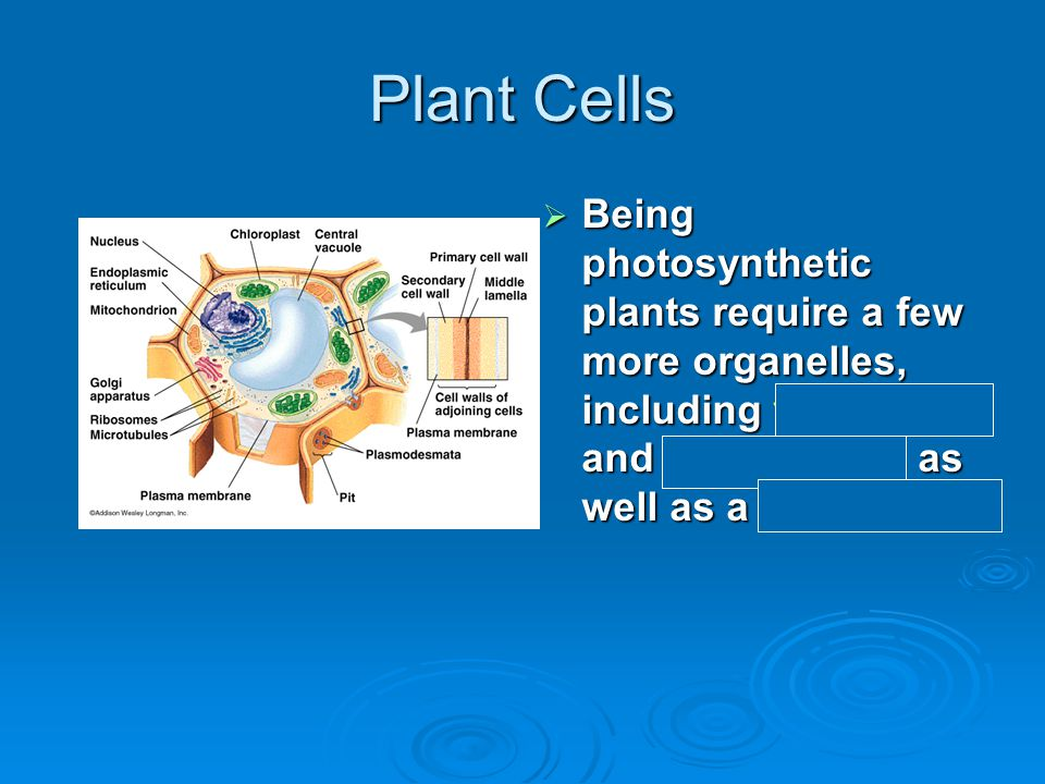 Plant Cells  Being photosynthetic plants require a few more organelles, including vacuoles and chloroplasts as well as a cell wall.