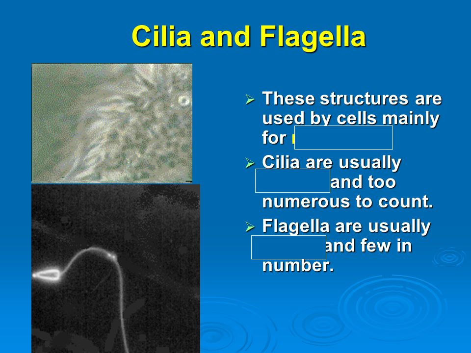 Cilia and Flagella  These structures are used by cells mainly for movement.