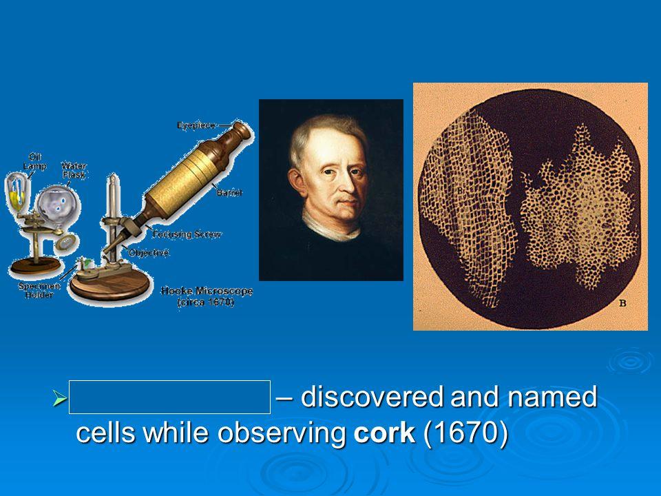  Anton van Leeuwenhoek (1680?) Dutch fabric merchant and amateur scientistDutch fabric merchant and amateur scientist observed living cells; called some animalcules observed living cells; called some animalcules