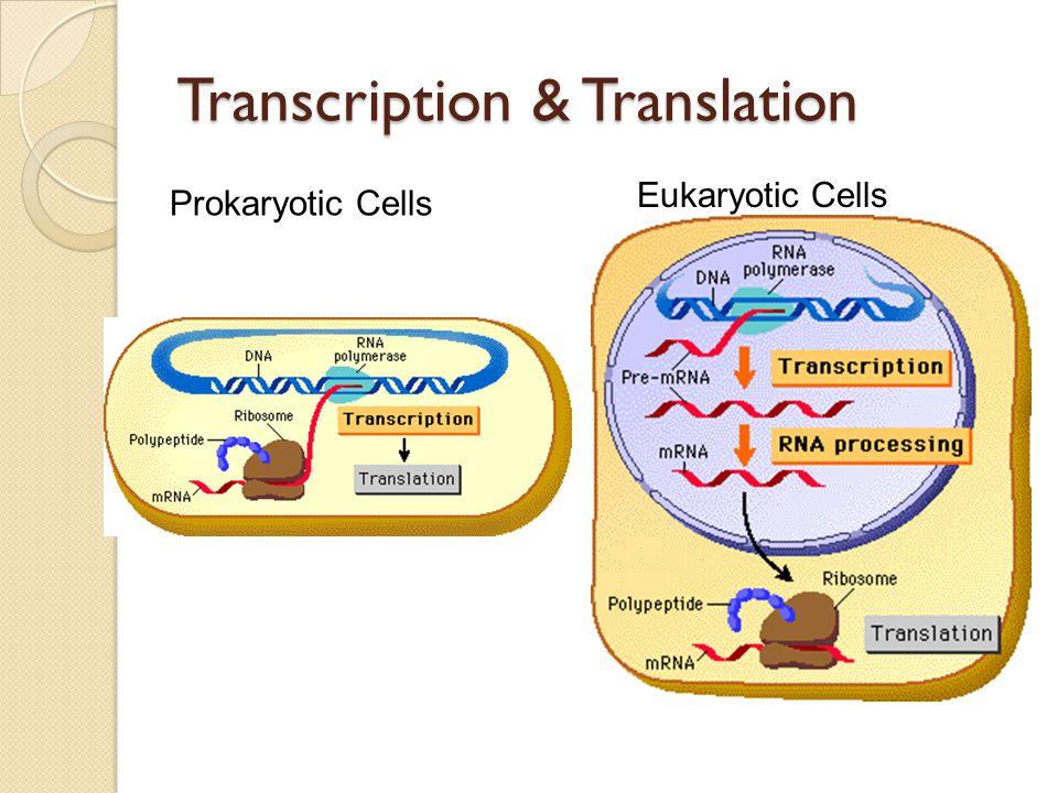 Transcription Process: RNA Polymerase