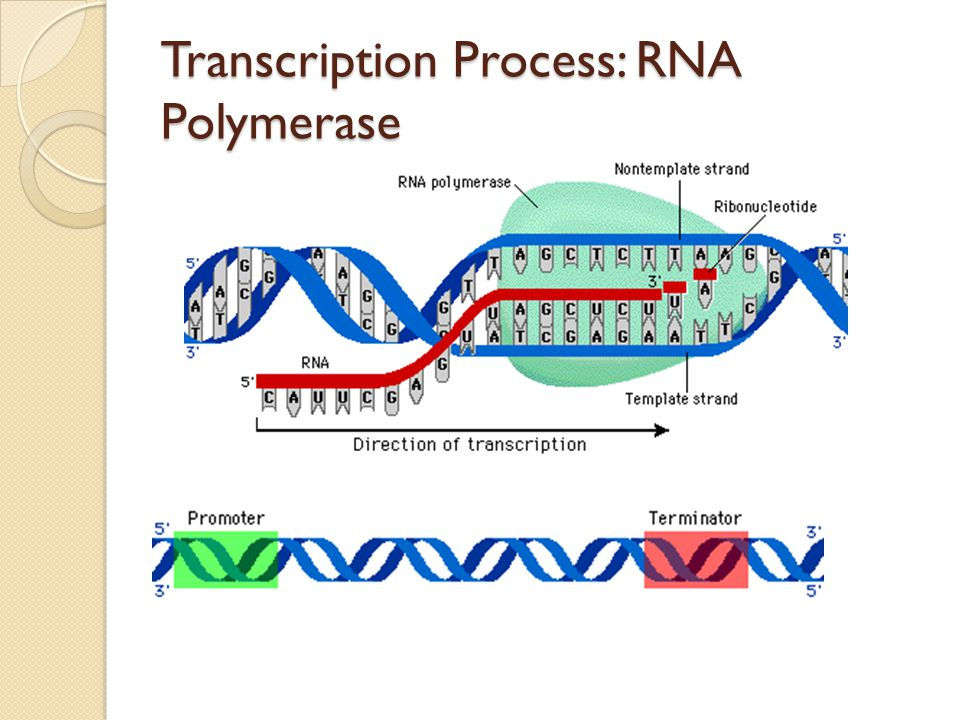 Transcription Process: RNA Polymerase