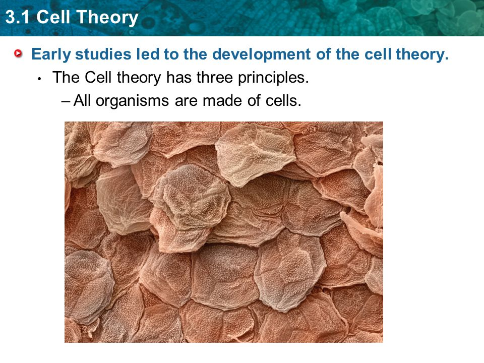 3.1 Cell Theory Early studies led to the development of the cell theory. The Cell theory has three principles. –All organisms are made of cells.