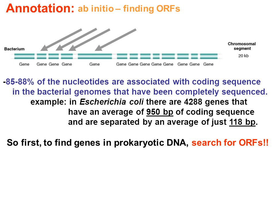-85-88% of the nucleotides are associated with coding sequence in the bacterial genomes that have been completely sequenced. example: in Escherichia c