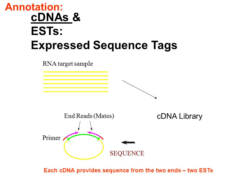 cDNAs & ESTs: Expressed Sequence Tags RNA target sample End Reads (Mates) SEQUENCE Primer cDNA Library Each cDNA provides sequence from the two ends –