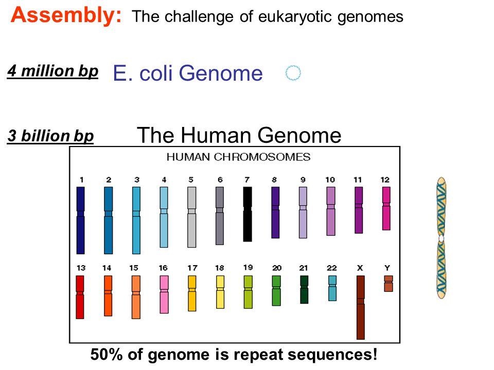 The Human Genome E. coli Genome 50% of genome is repeat sequences.
