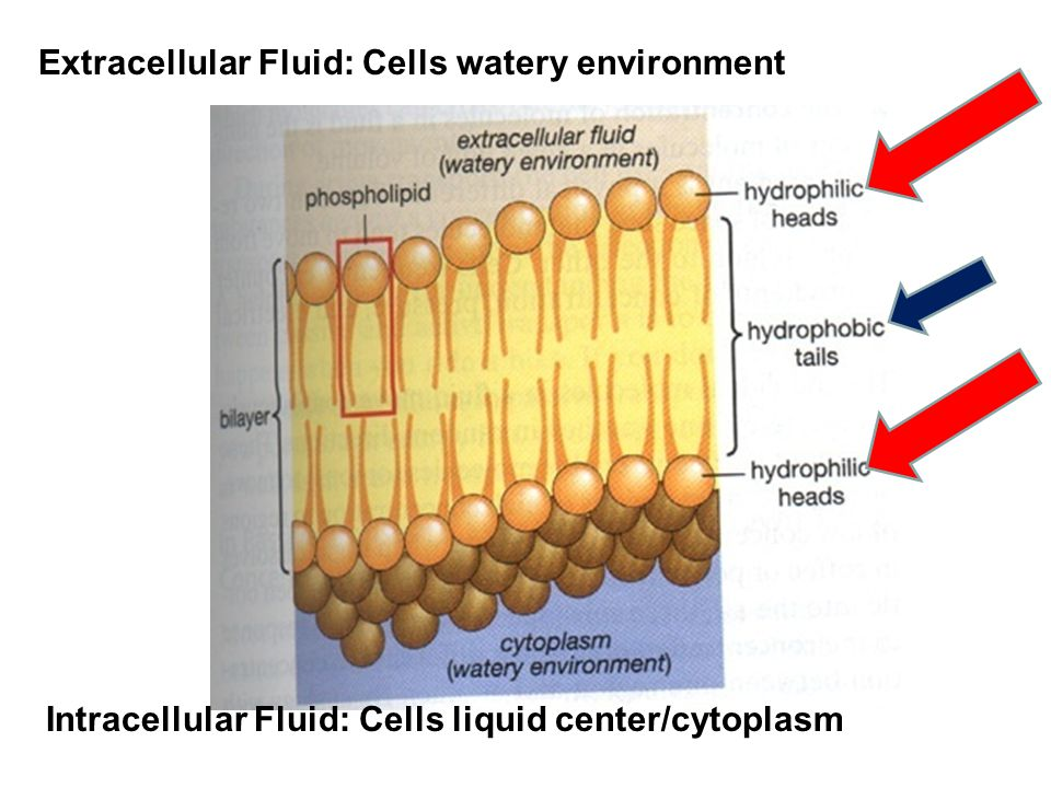 Extracellular Fluid: Cells watery environment Intracellular Fluid: Cells liquid center/cytoplasm