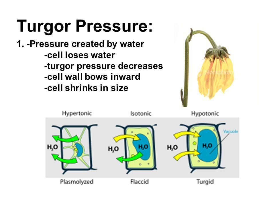 Turgor Pressure: 1.