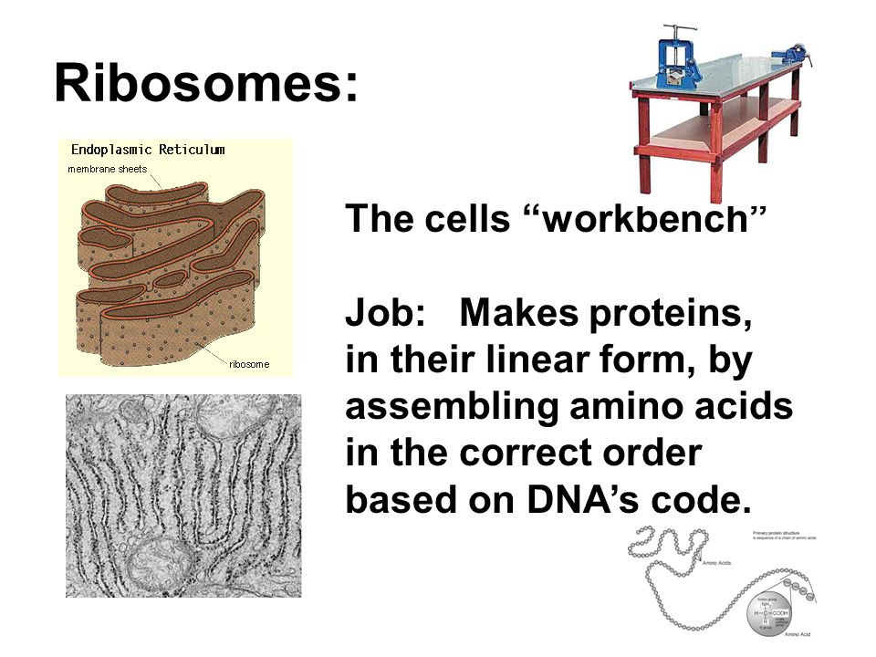 Ribosomes: The cells workbench Job: Makes proteins, in their linear form, by assembling amino acids in the correct order based on DNA's code.
