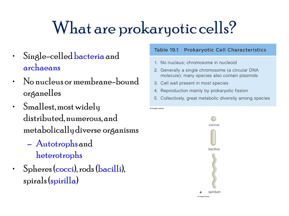 What are prokaryotic cells? Single-celled bacteria and archaeans No nucleus or membrane-bound organelles Smallest, most widely distributed, numerous,