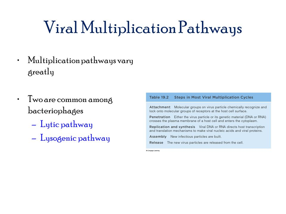 Viral Multiplication Pathways Multiplication pathways vary greatly Two are common among bacteriophages –Lytic pathway –Lysogenic pathway