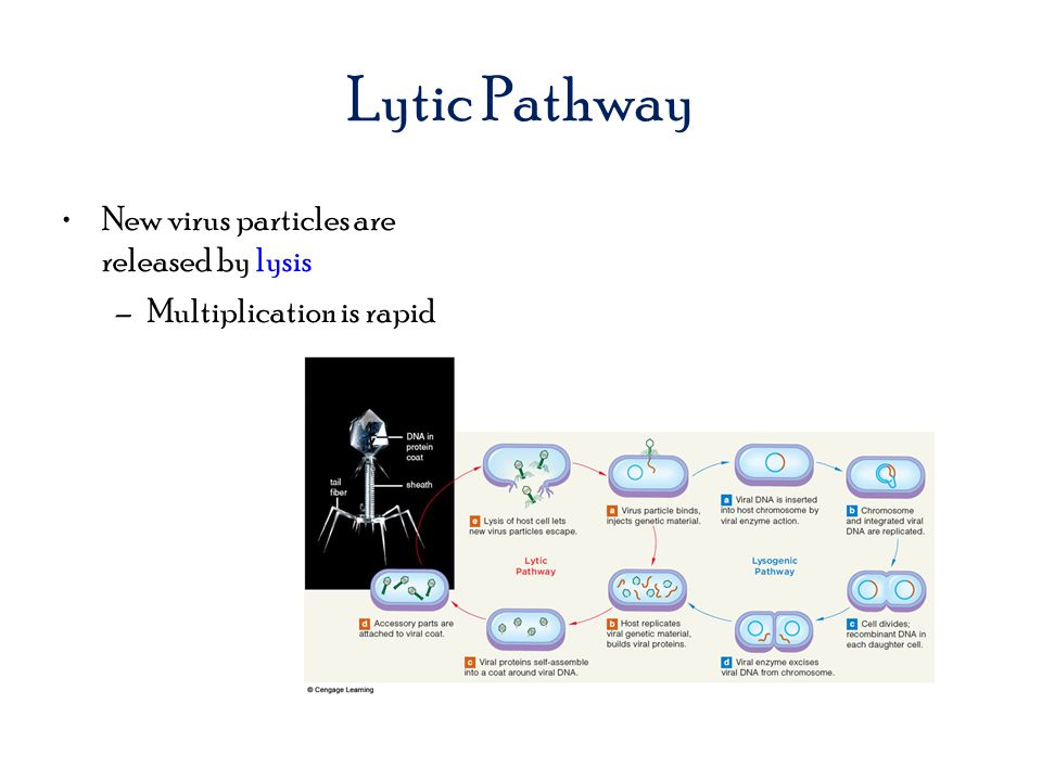 Lytic Pathway New virus particles are released by lysis –Multiplication is rapid