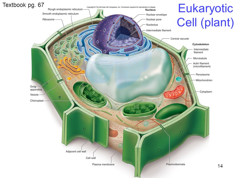 14 Eukaryotic Cell (plant) Textbook pg. 67