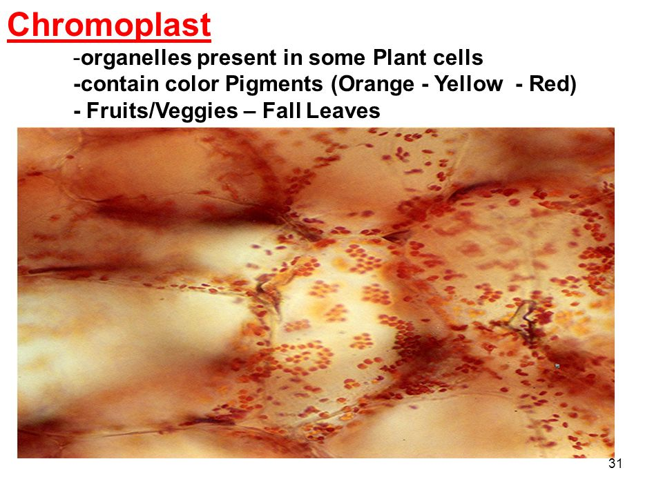 31 Chromoplast -organelles present in some Plant cells -contain color Pigments (Orange - Yellow - Red) - Fruits/Veggies – Fall Leaves