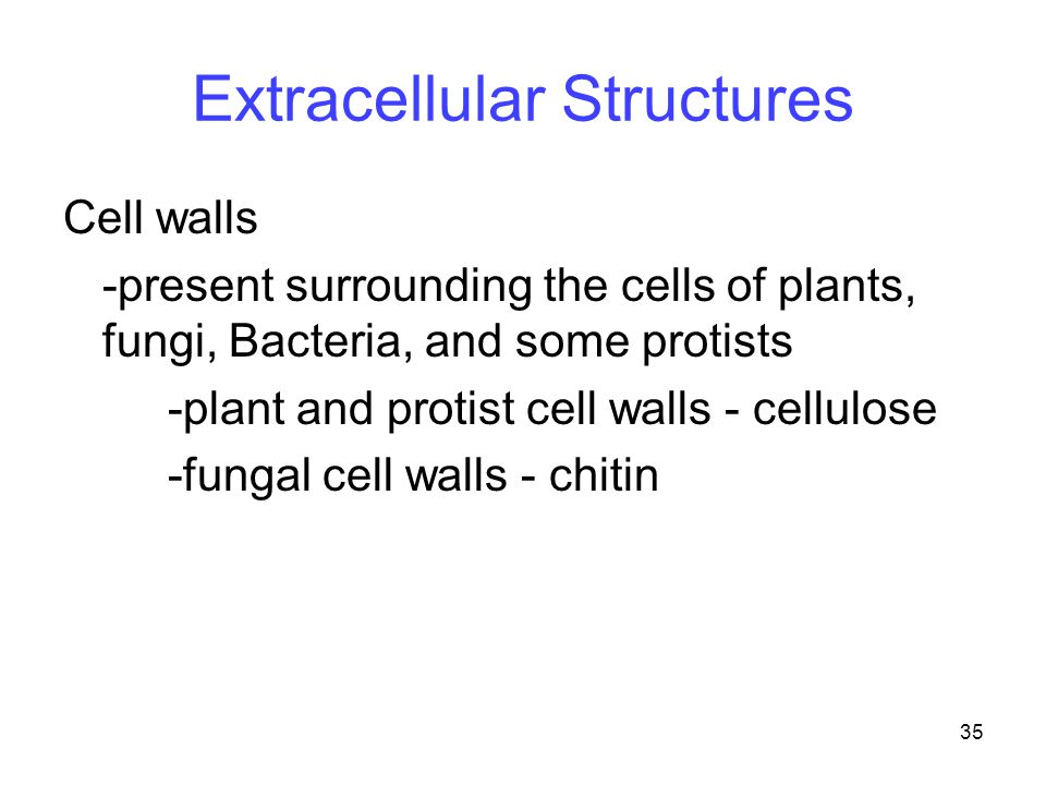 35 Extracellular Structures Cell walls -present surrounding the cells of plants, fungi, Bacteria, and some protists -plant and protist cell walls - ce