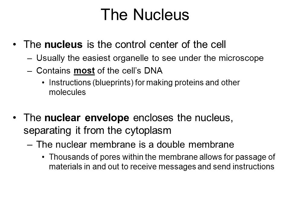 The Nucleus The nucleus is the control center of the cell –Usually the easiest organelle to see under the microscope –Contains most of the cell's DNA