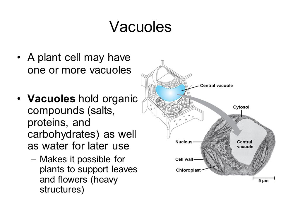 Vacuoles A plant cell may have one or more vacuoles Vacuoles hold organic compounds (salts, proteins, and carbohydrates) as well as water for later us