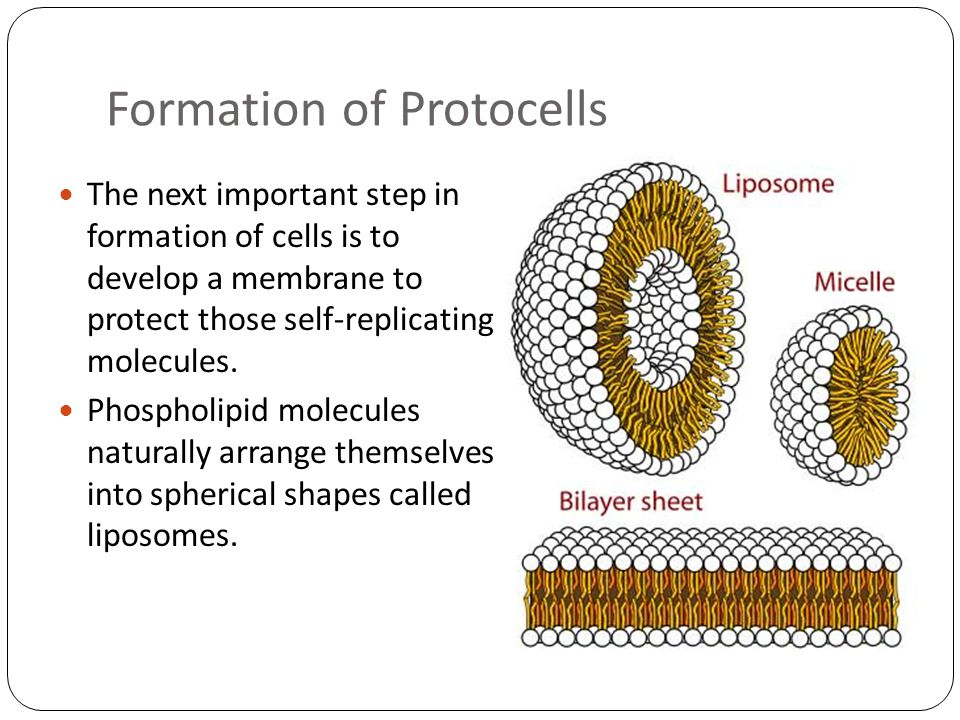 Formation of Protocells The next important step in formation of cells is to develop a membrane to protect those self-replicating molecules. Phospholip