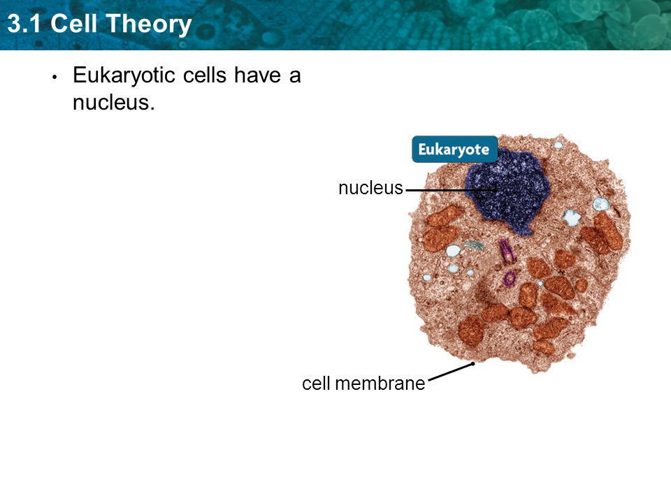 3.1 Cell Theory Eukaryotic cells have a nucleus. nucleus cell membrane
