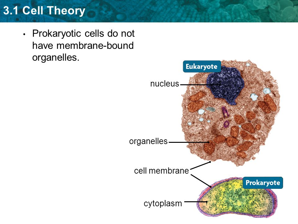 3.1 Cell Theory Prokaryotic cells do not have membrane-bound organelles.