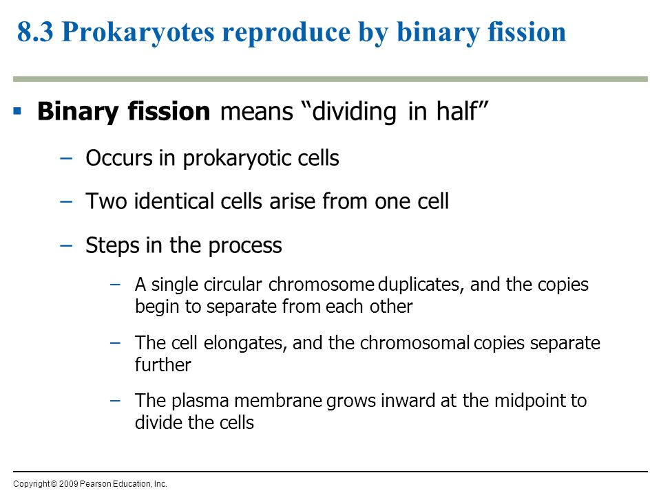  Binary fission means dividing in half –Occurs in prokaryotic cells –Two identical cells arise from one cell –Steps in the process –A single circular chromosome duplicates, and the copies begin to separate from each other –The cell elongates, and the chromosomal copies separate further –The plasma membrane grows inward at the midpoint to divide the cells 8.3 Prokaryotes reproduce by binary fission Copyright © 2009 Pearson Education, Inc.