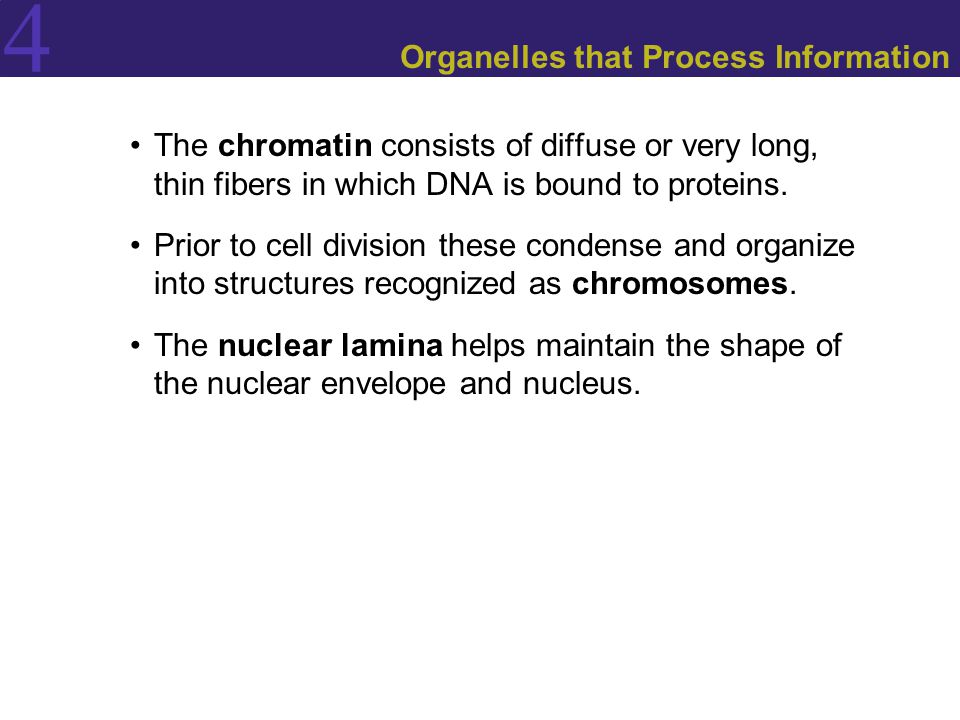 4 Organelles that Process Information The chromatin consists of diffuse or very long, thin fibers in which DNA is bound to proteins. Prior to cell div