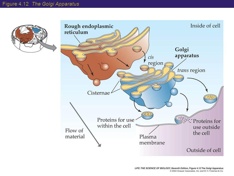 Figure 4.12 The Golgi Apparatus