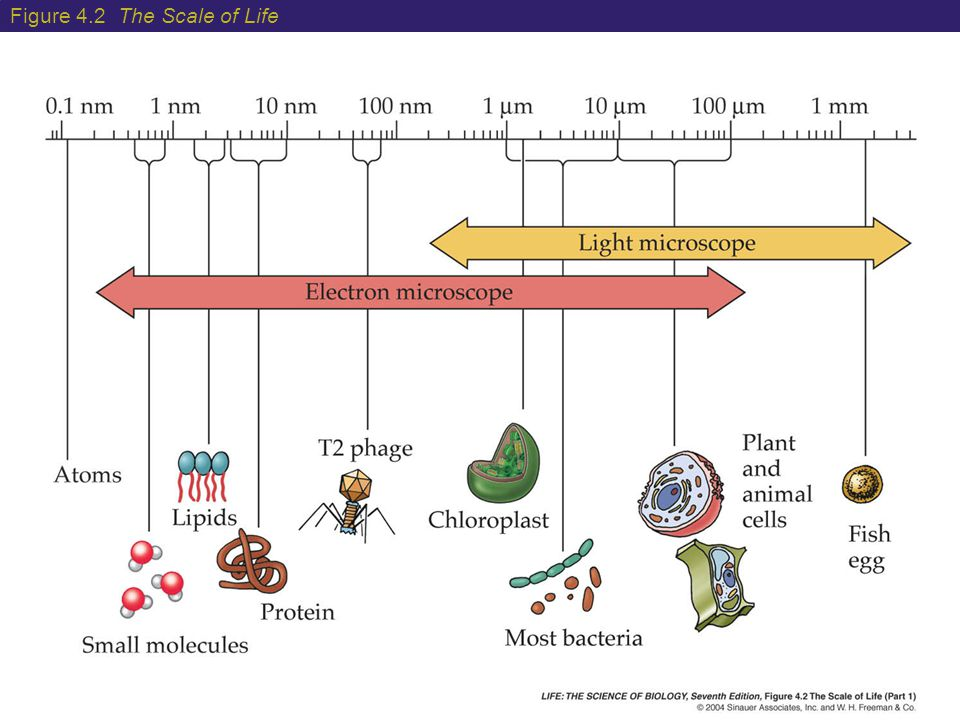 4 Extracellular Structures The plant cell wall is composed of cellulose fibers embedded in a matrix of other complex polysaccharides and proteins.