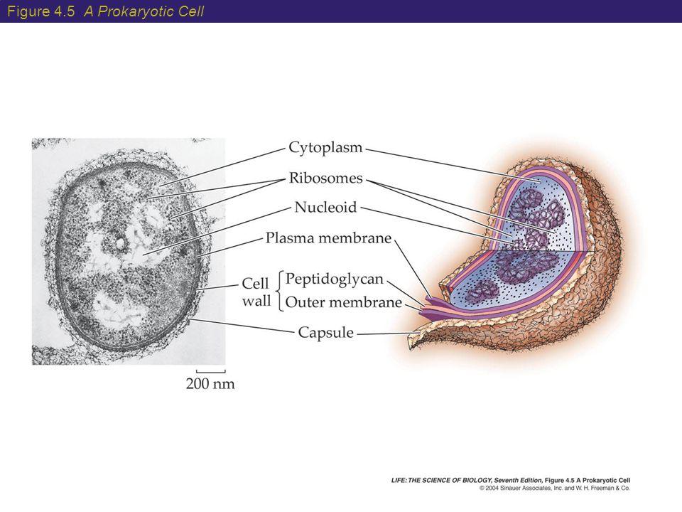 Figure 4.5 A Prokaryotic Cell