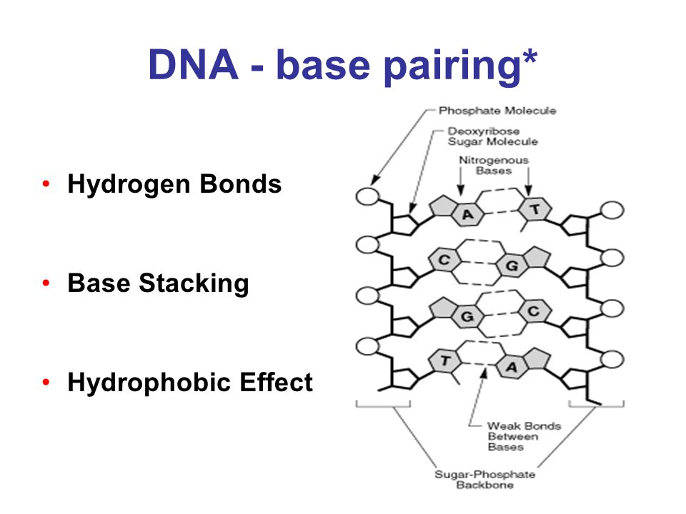 DNA - base pairing* Hydrogen Bonds Base Stacking Hydrophobic Effect