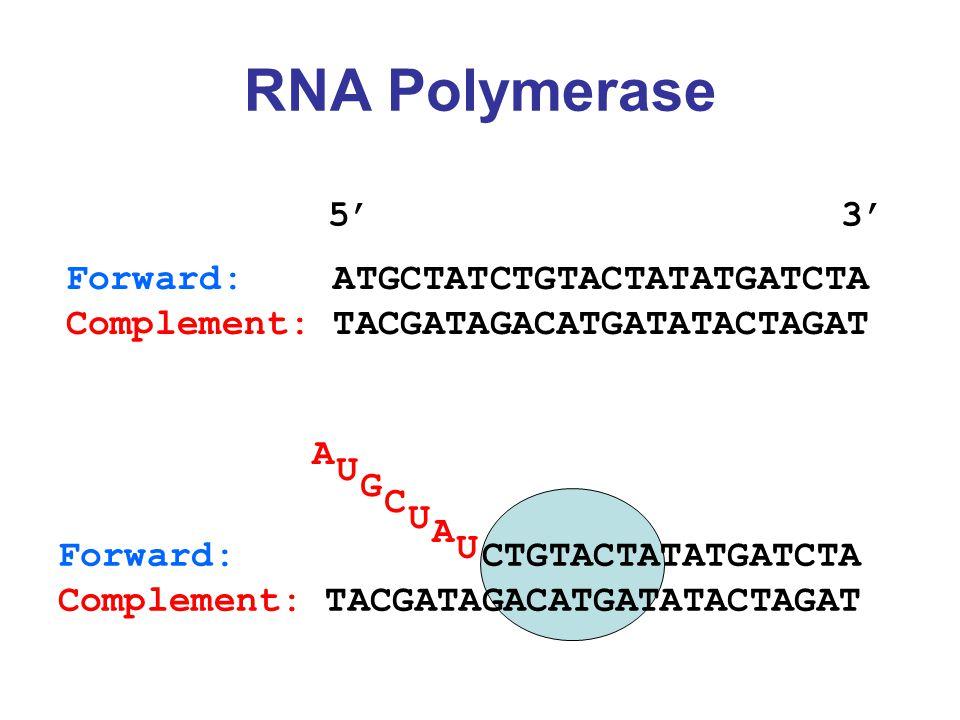 RNA Polymerase Forward: ATGCTATCTGTACTATATGATCTA Complement: TACGATAGACATGATATACTAGAT 5' 3' Forward: CTGTACTATATGATCTA Complement: TACGATAGACATGATATACTAGAT A U G C U A U