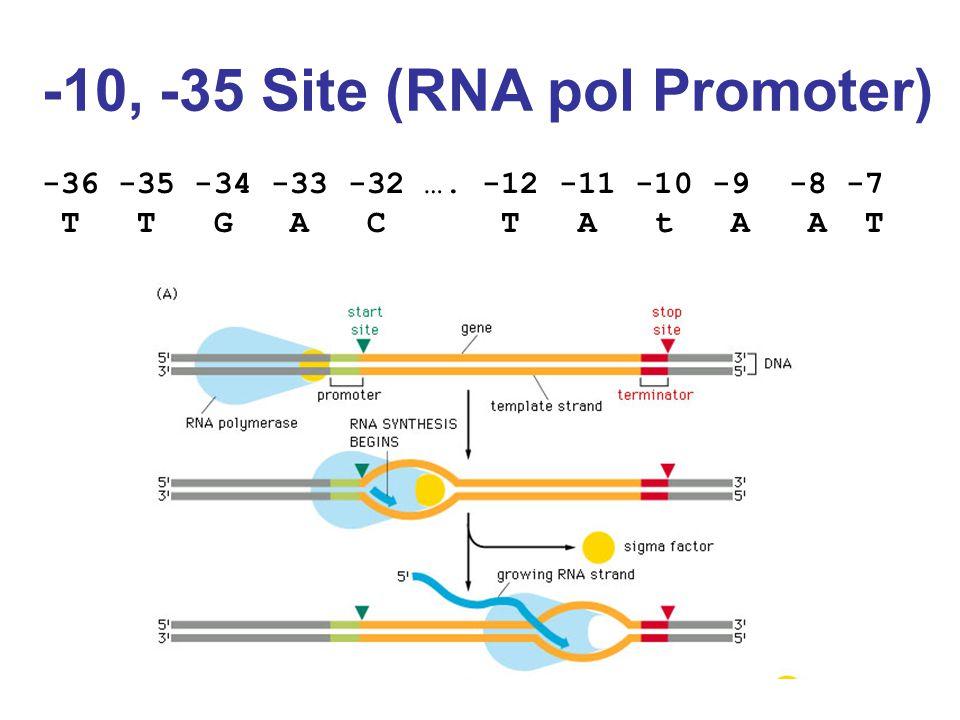 -10, -35 Site (RNA pol Promoter) -36 -35 -34 -33 -32 …. -12 -11 -10 -9 -8 -7 T T G A C T A t A A T