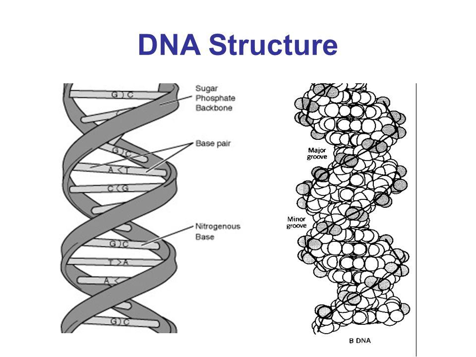 DNA - base pairing* Hydrogen Bonds Base Stacking Hydrophobic Effect