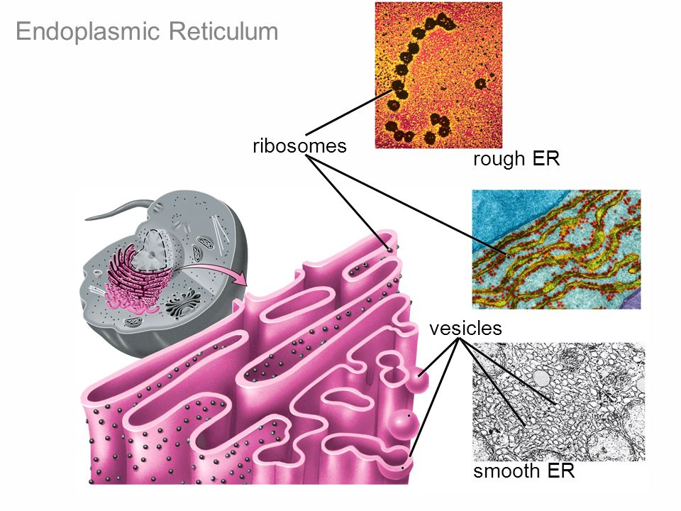 Figure 4-12 Biology: Life on Earth 8/e ©2008 Pearson Prentice Hall, Inc. vesicles rough ER smooth ER ribosomes Endoplasmic Reticulum