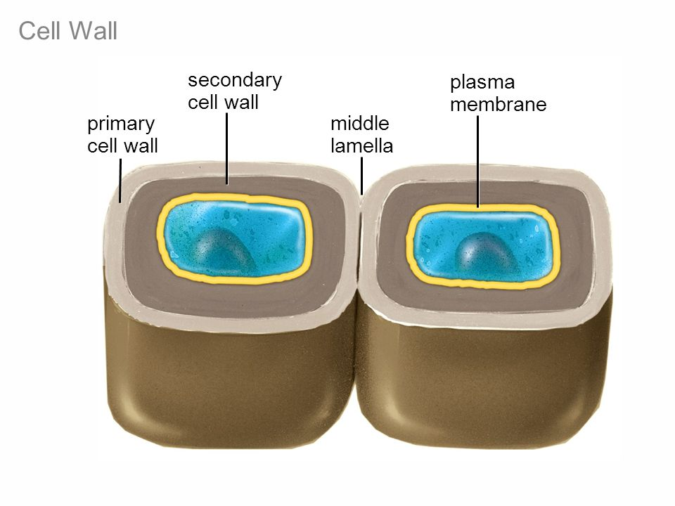 Cell Wall secondary cell wall middle lamella plasma membrane primary cell wall