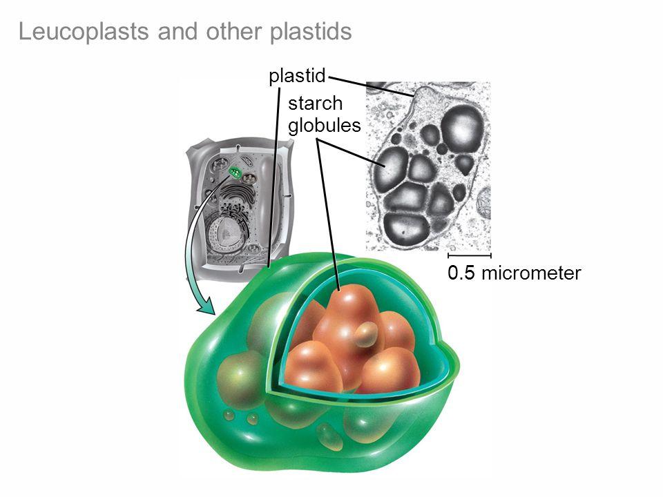 Leucoplasts and other plastids starch globules 0.5 micrometer plastid