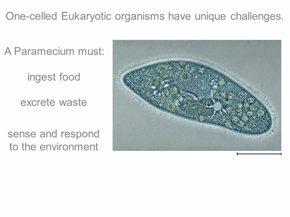 One-celled Eukaryotic organisms have unique challenges. A Paramecium must: ingest food excrete waste sense and respond to the environment