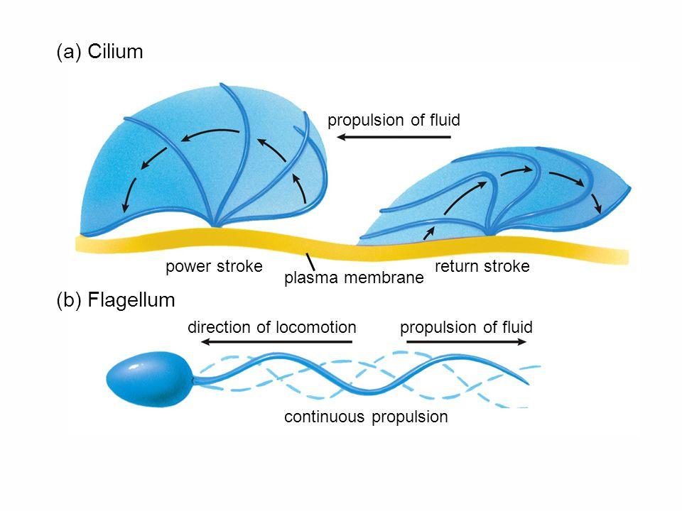 (a) Cilium (b) Flagellum propulsion of fluid return strokepower stroke plasma membrane direction of locomotionpropulsion of fluid continuous propulsion